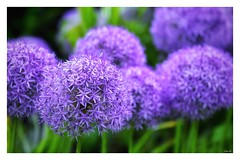 Alliums galore! (Nina_Ali) Tags: allium flowers flora nature