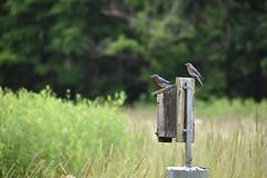 Bluebird Family (Myusername432) Tags: birds bluebirds family mother father nesting nestbox nest field black river ohio elyria animals nature wildlife