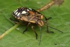 Shield Bug Nymph, Chinavia sp., Pentatomidae (Ecuador Megadiverso) Tags: andreaskay ecuador focusstack hemiptera heteroptera nymph pentatomidae pentatomomorpha shieldbug stinkbug truebug chinavia