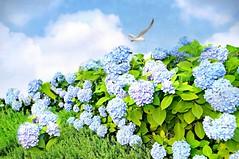 inmymind copy (floralgal) Tags: nature bluehydrangeas summergarden floweringbush florals flowergarden birdinflight