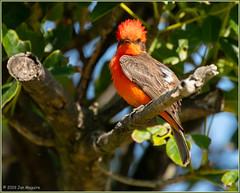 Vermilion Flycatcher 8466 (maguire33@verizon.net) Tags: pradoregionalpark pyrocephalusrubinus vermilionflycatcher bird flycatcher male wildlife chino california unitedstatesofamerica