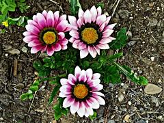 Gazania Blossoms (clickclique) Tags: flower flowers gazania favorite white purple orange summer garden wine petals leaves pink inexplore 6000viewsunlimited views20000
