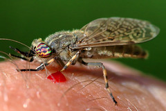 The lengths some will go to get a photo.... (PJ Swan) Tags: horsefly notch horned cleg blood feeding parasite