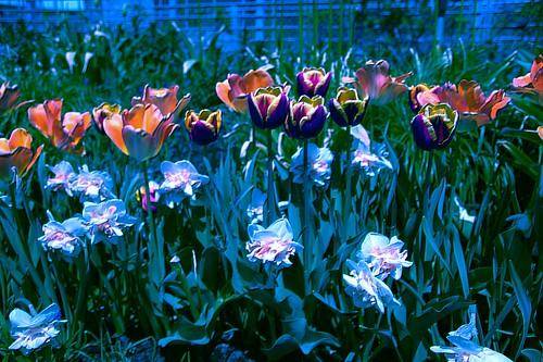 Toronto Ontario ~ Canada ~ Edwards Botanical Gardens ~  Tulip Bed