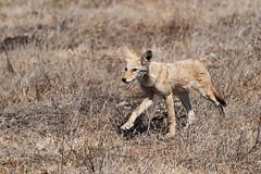 Stepping Out (lennycarl08) Tags: coyote pointreyesnationalseashore animalplanet wildlife
