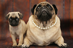 Daisy and Duke Pug (jillccarlson) Tags: pug puglife dog pugs