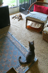Gracie and Millie May 2019 2946Ri (edgarandron - Busy!) Tags: cat cats kitty kitties tabby tabbies cute feline gracie patchedtabby millie graytabby