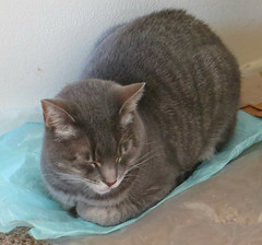 Millie 8 May 2019 2943Ri (edgarandron - Busy!) Tags: cat cats kitty kitties tabby tabbies cute feline millie graytabby