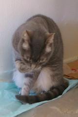 Millie 8 May 2019 2941Ri 4x6 (edgarandron - Busy!) Tags: cat cats kitty kitties tabby tabbies cute feline millie graytabby