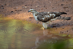 Oriental Honey Buzzard - Pernis ptilorhynchus (Jono Dashper Wildlife) Tags: bird wild wildlife animal nature safari canon 2019 1dx 500mm national naturephotography wildlifephotohraphy jonodashper jonathondashper oriental honey buzzard pernis ptilorhynchus orientalhoneybuzzard pernisptilorhynchus crestedhoneybuzzard