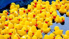 quackery... (Stu Bo - Tks for 13 million views) Tags: ducks water cute festival game play yellow birds duckducknogoose sbimageworks vivid colorful canonwarrior fun