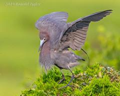 Little Blue Heron _MG_3606 (ronzigler) Tags: littleblueheron birdwatcher avian wildlife nature wader bird heron