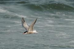 Common Tern (arielfischer) Tags: tern sternahirundo flusseeschwalbe charráncomún sternepierregarin sternacomune andorinhadomarcomum trintaréisboreal речнаякрачка seeschwalbe שחפיתים