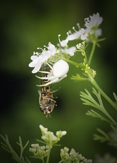 _A994830 (mbisgrove) Tags: macro plant insect a99ii a99m2 bee flower spider white sony wings dofstack sigma 150mmexdgapohsm feeding