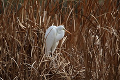 Great Egret (DaveSPN) Tags: greategret heathdaleglenordenwetlands werribee melbourne australia canon7dll