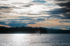06.27.2019 (TheWeltyFamily) Tags: britishcolumbia 2019 june theweltyfamily vancouver canada vancouverisland cowichan cowichanbay oceanecoventures orca killerwhale biggskillerwhale
