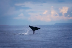 06.27.2019 (TheWeltyFamily) Tags: canada june vancouver britishcolumbia tail vancouverisland orca killerwhale fluke cowichan cowichanbay 2019 oceanecoventures theweltyfamily biggskillerwhale