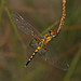 Amanda's Pennant - Celithemis amanda, Boykin Springs Recreation Area, Jasper County, Texas