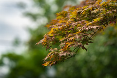 Japanese Maple on a Stormy Day (John Brighenti) Tags: outside outdoors rockville maryland twinbrook nature summer july tree leaves foliage japanese maple bokeh color green red orange plant branch stick alive sony alpha a7rii ilce7rm2 sel100400gm zoom gmaster emount femount lens telephoto