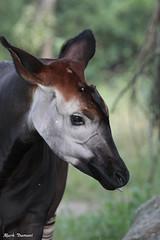 G08A1584.jpg (Mark Dumont) Tags: okapi zoo mark dumont mammal cincinnati
