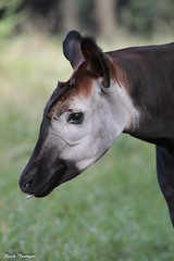 G08A1625.jpg (Mark Dumont) Tags: okapi zoo mark dumont mammal cincinnati