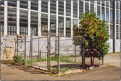 Fenced Tree (NoJuan) Tags: fence fencedin film filmshooter filmcamera 35mm 35mmfilm 35mmslr canon canonefm canonfilmcamera shootingfilm magnusonpark seattlewa washingtonstate pacificnorthwest