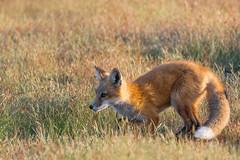 Red Fox Kit (jeff's pixels) Tags: red fox kit animal mammal cute nature wildlife nikon bird bus train plane pnw
