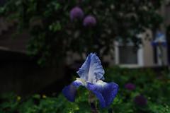 German Iris (JoelZimmer) Tags: 24mmf28 brooklyn florals newyork nikond750 parkslope