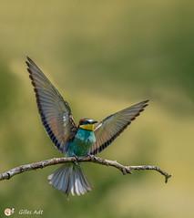 le Guêpier d'Europe - European Bee-eater (Gilles Adt Photographer) Tags: oiseau france pamier meropsapiastereuropeanbeeeater ornithologie guêpierdeurope