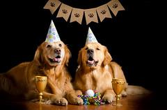 Happy Birthday Toby 28/52 (bztraining) Tags: henry toby bzdogs bztraining golden retriever 52weeksfordogs dogchal 3652019