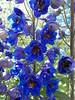 Blue! (geevee41) Tags: flower delphinium blue summer prairies