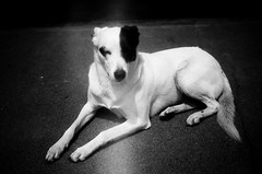 Shasta dog (abe.ammar.n) Tags: