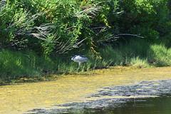 DSC_0628 (maddiebird101) Tags: beach corsonsinlet statepark nj newjersey shore jerseyshore wildlife nature naturephotography bird birds plane shell