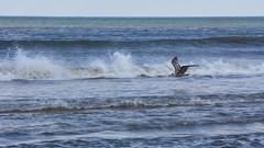 DSC_0608 (maddiebird101) Tags: beach corsonsinlet statepark nj newjersey shore jerseyshore wildlife nature naturephotography bird birds plane shell