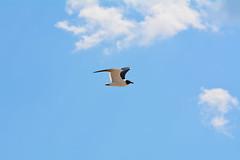 DSC_0567 (maddiebird101) Tags: beach corsonsinlet statepark nj newjersey shore jerseyshore wildlife nature naturephotography bird birds plane shell