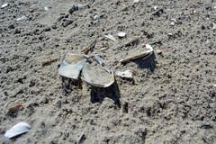 DSC_0560 (maddiebird101) Tags: beach corsonsinlet statepark nj newjersey shore jerseyshore wildlife nature naturephotography bird birds plane shell