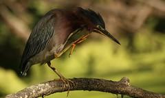 dang that itches (don.white55 That's wild...) Tags: greenheronbutoridesvirescens donpwhitephotography canoneos70d tamronsp150600mmf563divcusda011 150600mmlens bird birdwatching bigbird beak nature wildlife wildwoodlake wildwoodpark waterfowl harrisburgpennsylvania pennsylvaniawildlife pennsylvaniacanal pennsylvania thatswildnaturephotography tamron150600mm green donwhite greenie ngc npc