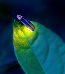 Night Light (arlene sopranzetti) Tags: firefly lightning bug summer night light glow insect new jersey
