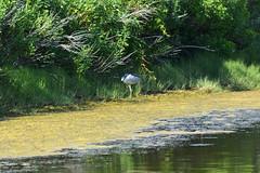 DSC_0627 (maddiebird101) Tags: beach corsonsinlet statepark nj newjersey shore jerseyshore wildlife nature naturephotography bird birds plane shell