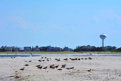DSC_0612 (maddiebird101) Tags: beach corsonsinlet statepark nj newjersey shore jerseyshore wildlife nature naturephotography bird birds plane shell