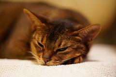 LizZie slumbering (DizzieMizzieLizzie) Tags: sony a7iii ilce7m3 fe 135mm f18 gm dof bokeh golden classic pose ilce chat gatos neko pisica meow kot katze katt gatto gato feline cat portrait dizziemizzielizzie lizzie aby abyssinian 2019