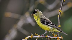 hot and bothered - Lesser Goldfinch (foto tuerco) Tags: lesser goldfinch oregon