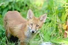 Red Fox Cub...... (law_keven) Tags: urbanredfoxcub foxes urbanredfox catford london uk wildlife wildlifephotography photography redfox animals animalphotography foxcubs foxcub