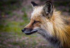 Fox (valentina425) Tags: mountain wild life nature animals colorado moutains summer fox animal ngc forest wood