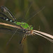 Eastern Pondhawk - Erythemis simplicicollis with Bar-winged Skimmer - Libellula axilena, Jasper County, Texas