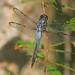 Bar-winged Skimmer - Libellula axilena, Jasper County, Texas