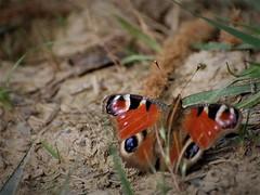 Papillon aux yeux de chat (danielled61) Tags: papillon butterfly yeux de chat paon du jour inachis io juillet été couleurs chemin macro cat