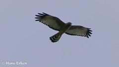 Spotted Harrier (Hans Erken) Tags: spottedharrier noonbahstation birds centralqueensland