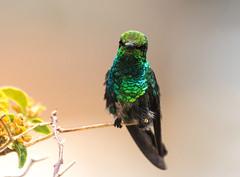 Blue-tailed Emerald (5)! (Jambo53 ()) Tags: crobertkok hummingbird kolibri colibri
