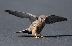 kestrel (davy ren2) Tags: nature kestrel male photograthy wildlife d500 nikon